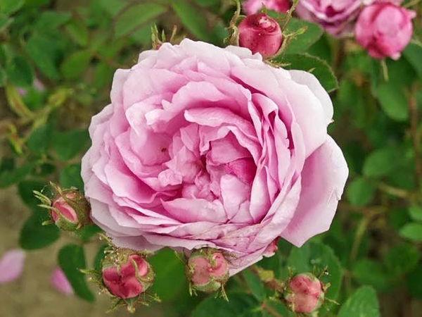 Rosa centifolia (provenance kassel) filtered-3-g.jpg