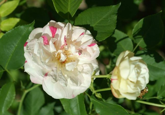 Fortune's Five-Colored Rose 1.jpg