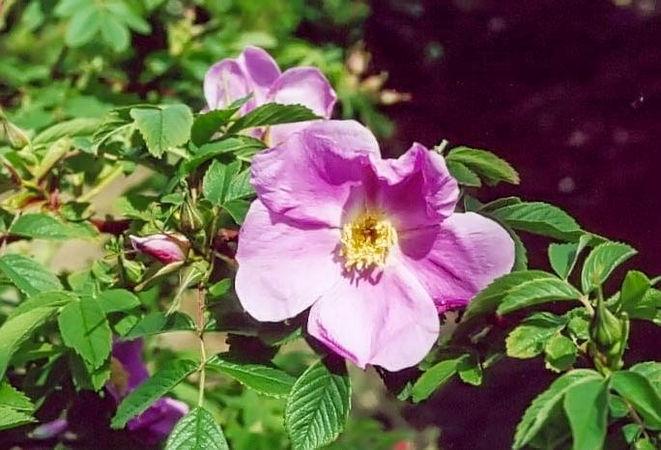 R.cinnamomeae nepalensis filtered-3-g.jpg