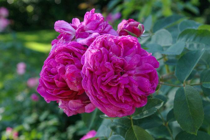 Reine des Violettes I, RH 1860-w.jpg
