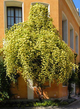 Banksiae lutea, Andea Moro, Università di Trieste 4-w.jpg