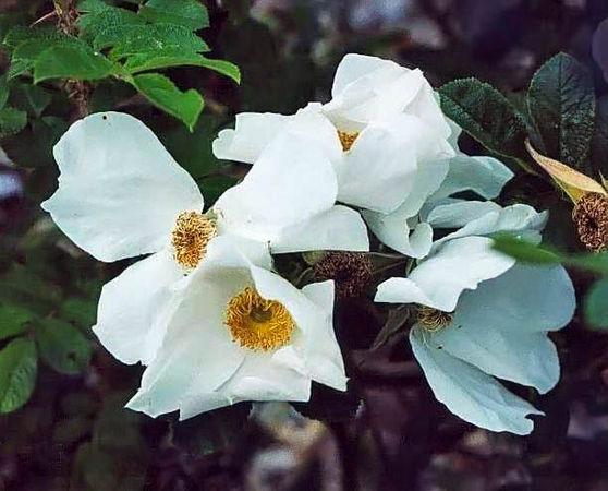 R.rugosa White Surprise filtered-3-g.jpg