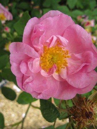 Agathe Rose, Stéphane Barth, Roseraie Du Val-de-Marne 1-w.jpg
