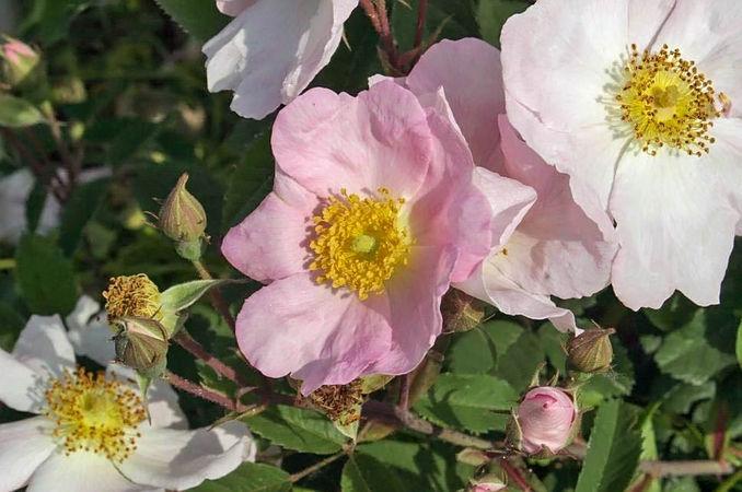 Rosa sylvatica 2 filtered-3-g.jpg
