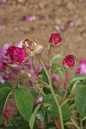 Rose du Maître d'École, Miellez 1840, Gall.-II-1-SGH-1-w.jpg