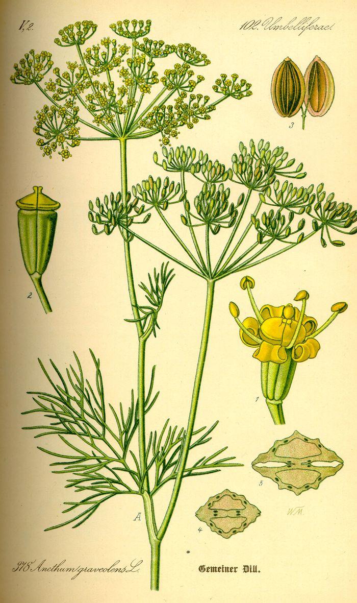 Illustration Anethum graveolens0.jpg