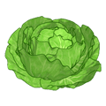 Farmfreshcabbage.png