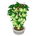 Patiopearplant.png