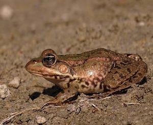 Прудовая лягушка. Заболоченный водоём в пойме реки Ольшанки (близ бывшего села Ртищево)