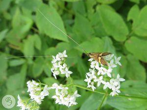 Длинноуска опоясанная (самец) на цветках подмаренника бореального