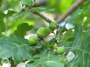 Quercus robur4RE.jpg