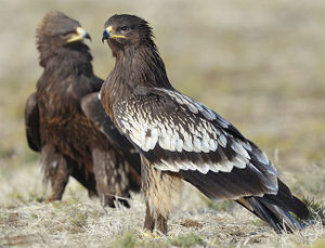 Aquila clanga.jpg