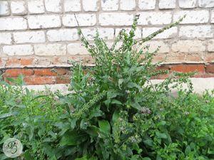 Общий вид цветущего и плодоносящего растения