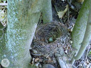 Гнездо рябинника.jpg