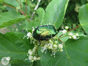 Кормящийся жук на цветках клёна татарского. Роща Третьяк
