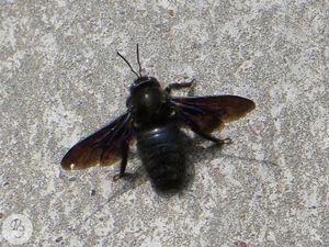 Пчела-плотник в районе станции Шуклино