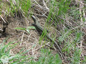 Прыткая ящерица. Пойма реки Сухановки (среднее течение)