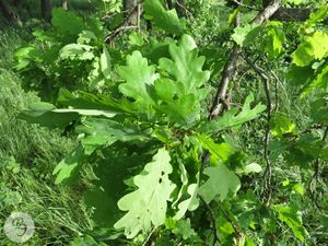 Quercus robur2RE.jpg