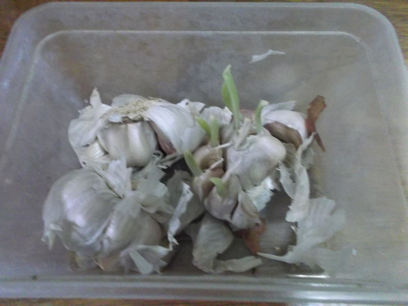 檔案:蒜頭的營養器官繁殖.jpg